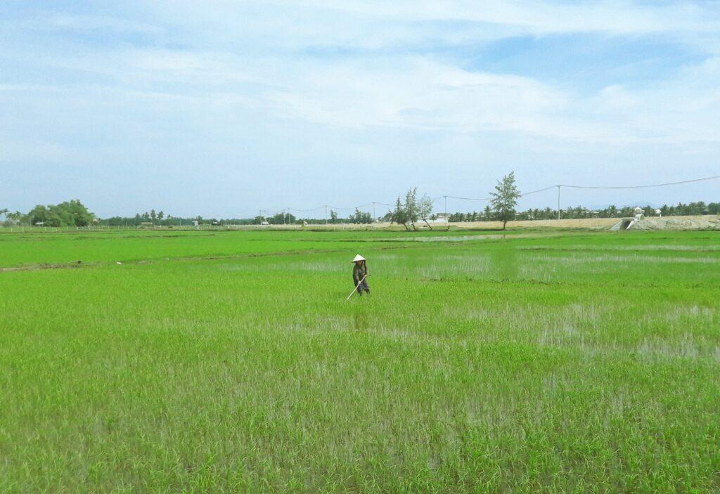 rice paddy hoi an vietnam