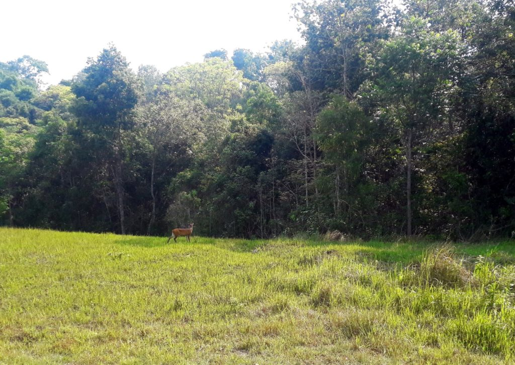 caprioara parcul national khao yai thailanda