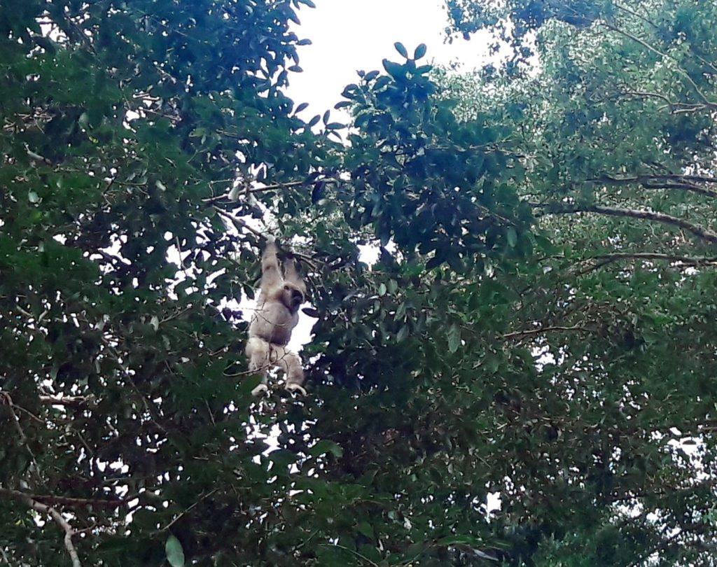 gibon parcul national khao yai thailanda