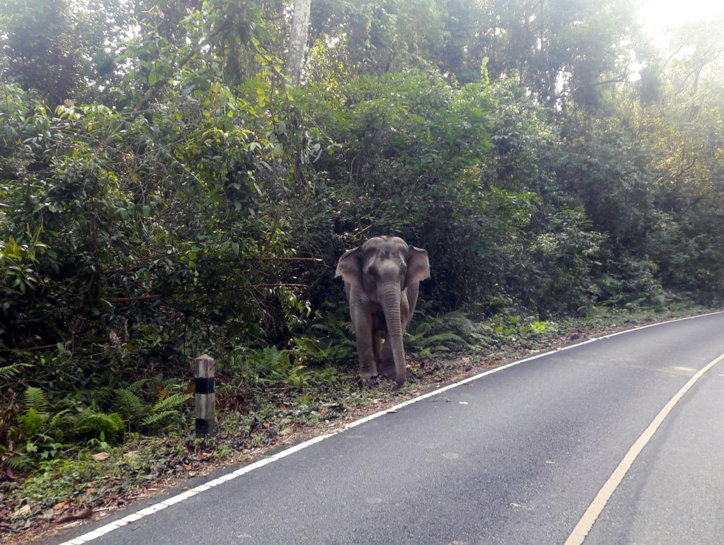 elefant salbatic parcul national khao yai thailanda