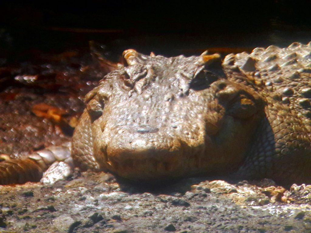 crocodil siamez parcul national khao yai thailanda